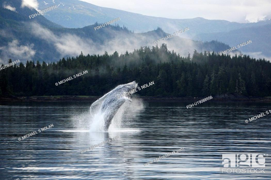 Stock Photo: Humpback Whale Megaptera novaeangliae calf breaching in Hobart Bay, Southeast Alaska, USA. Pacific Ocean.