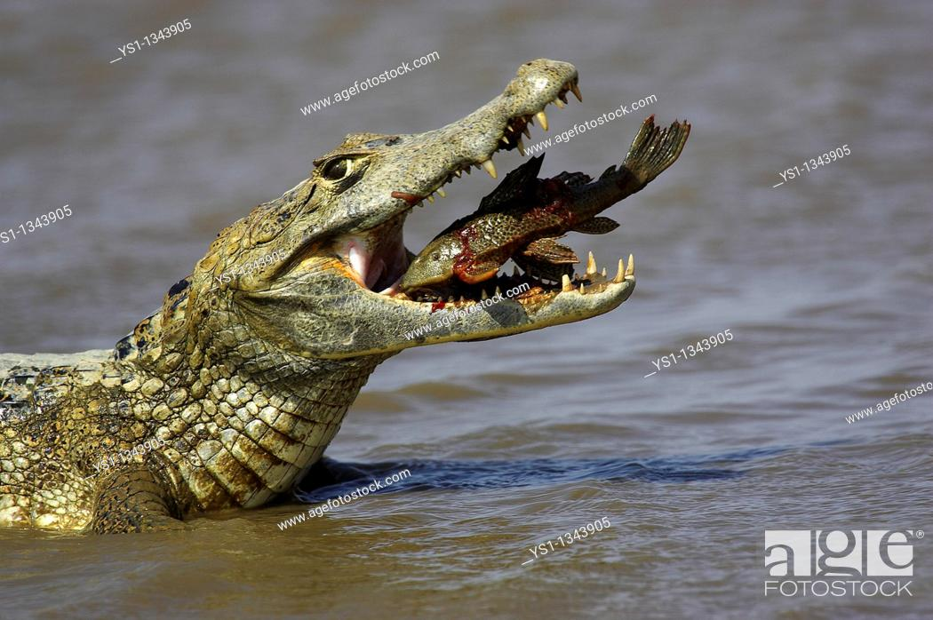 Stock Photo: Spectacled Caiman, Caiman crocodilus, adult catching fish. Los Llanos, Venezuela.