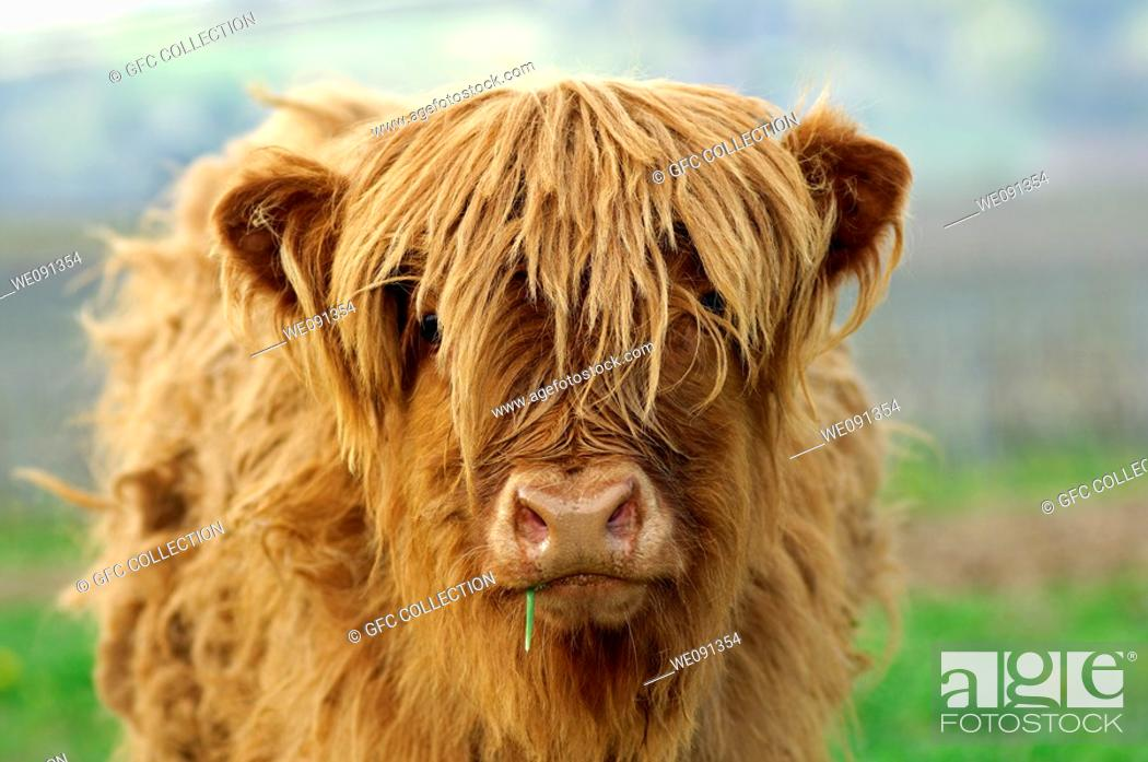 Stock Photo: Calf, red-brown Highland Cattle, Kyloe.