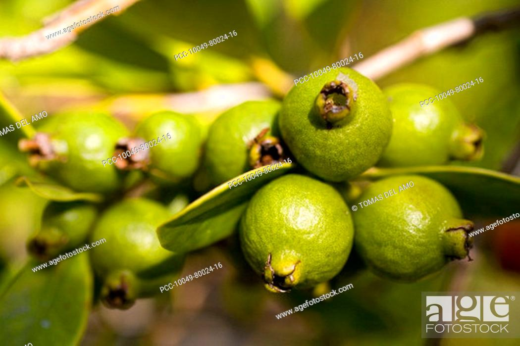 Stock Photo: Cluster of bright green seed pods on a tropical plant.