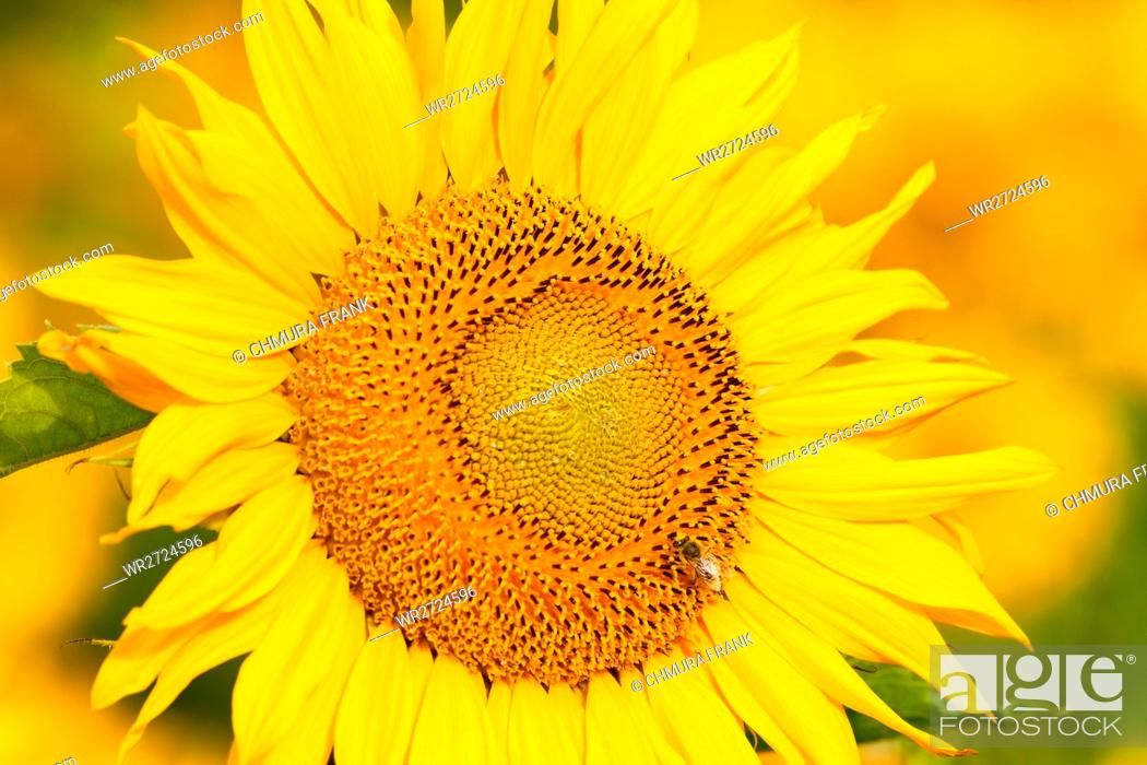 Stock Photo: Czech Republic, Southern Bohemia - Field of Sunflowers.