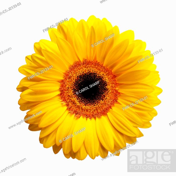 Imagen: Gerbera daisy, Gerbera jamesonii, Yellow flower with a black centre, viewed from overhead cut out on white.