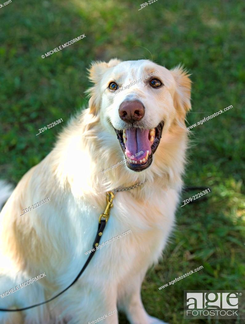 Stock Photo: This golden retriever mix is full of the joy of life.