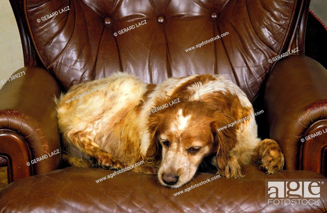 Stock Photo: Brittany Spaniel Dog, Female sleeping on Armchair.