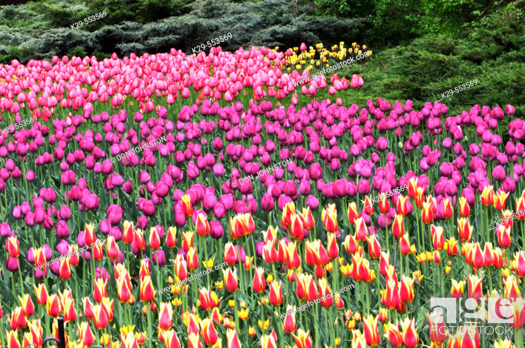 Stock Photo: Tulip beds in Commissioner's Park near Dow's Lake. Ottawa, Ontario, Canada.