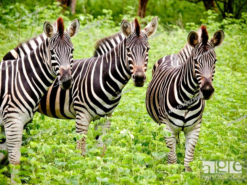 Stock Photo: CEBRAS  RESERVA DE BANDIA, SENEGAL.