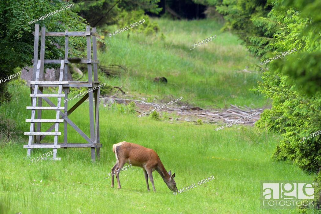 Stock Photo: Red deer (Cervus elaphus) in Summer, Female, In Background a Hunting Hide, Spessart, Hesse, Germany, Europe.