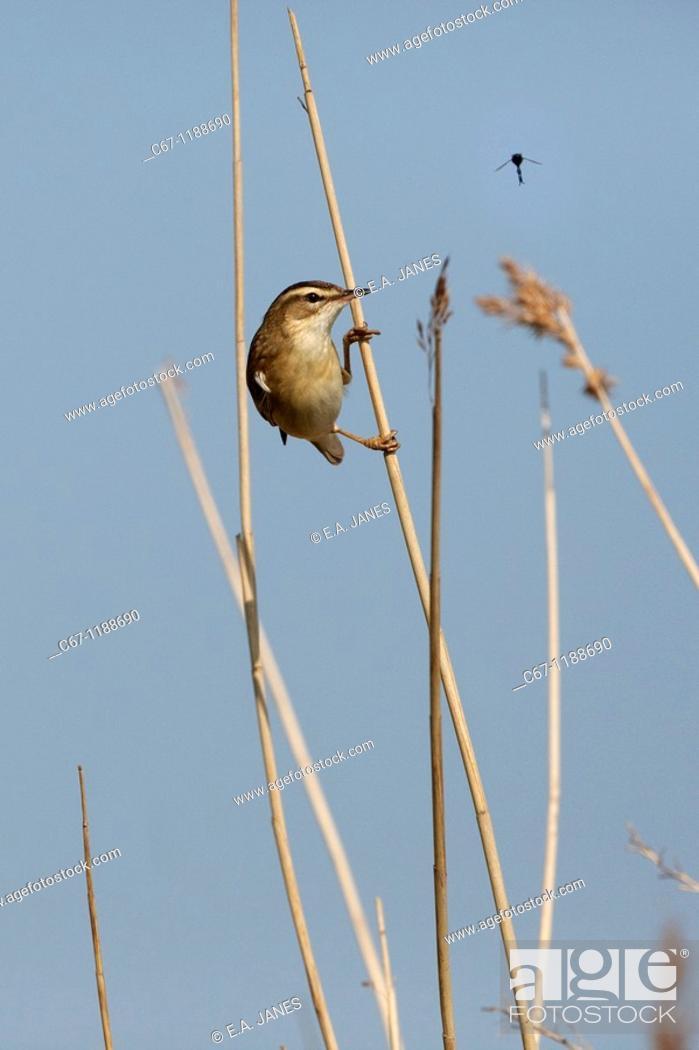 Stock Photo: Sedge Warbler Acrocephalus schoenobaenus.