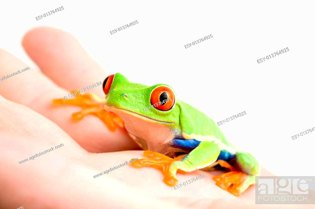 Stock Photo: frog in hand isolated on white.