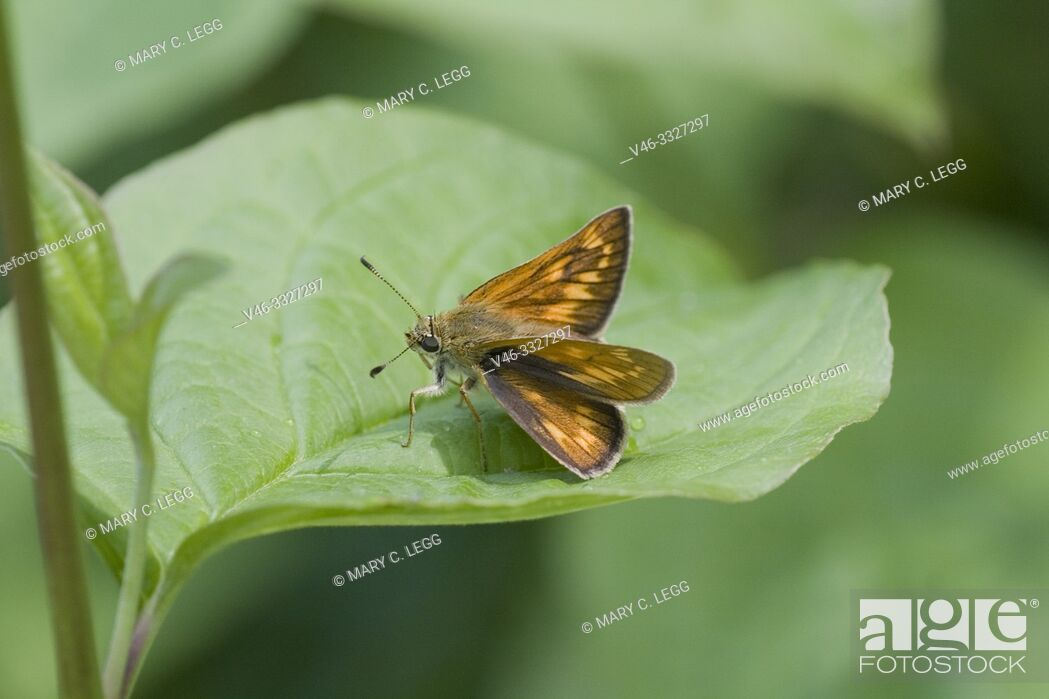 Stock Photo: Large Skipper, Ochlodes sylvanus. An orange skipper. Males has a black slash mark on back wings. Wings have checquered pattern.