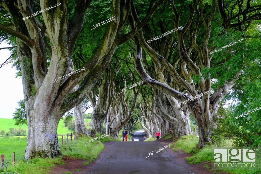 Stock Photo: The Dark Hedges is an avenue of beech trees, Game of Thrones location, along Bregagh Road, County Antrim, Northern Ireland.