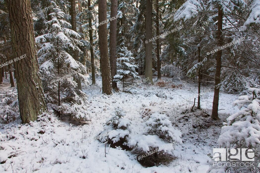 Stock Photo: Winter landscape of natural forest with pine trees trunks and spruces, Bialowieza Forest, Poland, Europe.