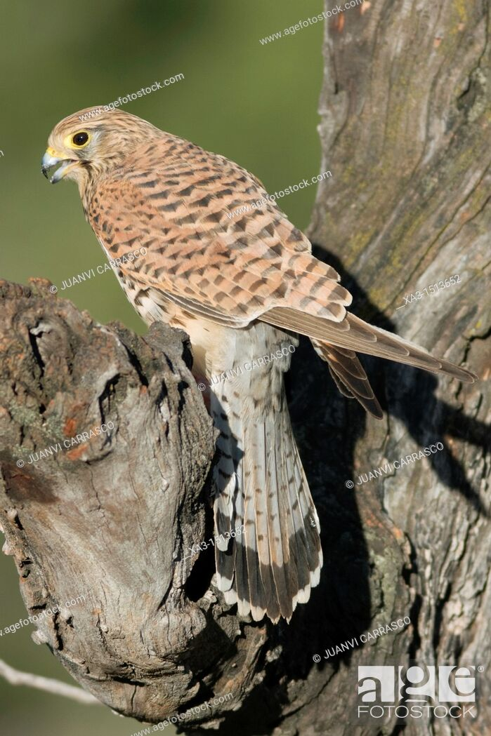 Stock Photo: Common kestrel, Falco tinnunculus, perched on a branch, Valencia, Spain.
