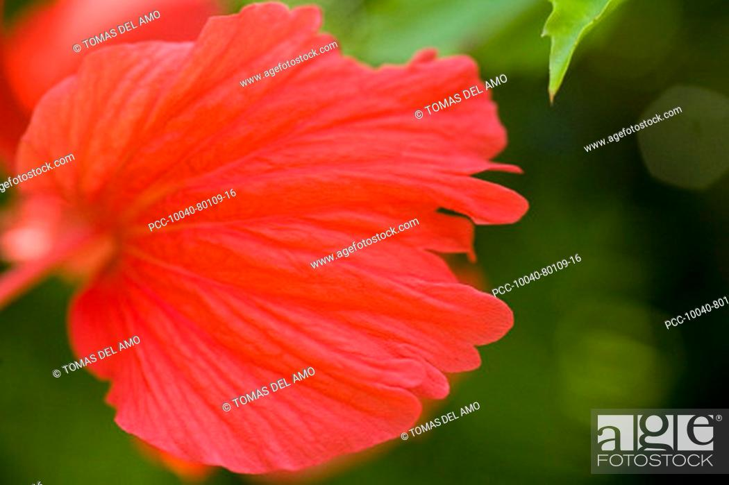 Stock Photo: Red hibiscus with petals floating outward like fairy wings.