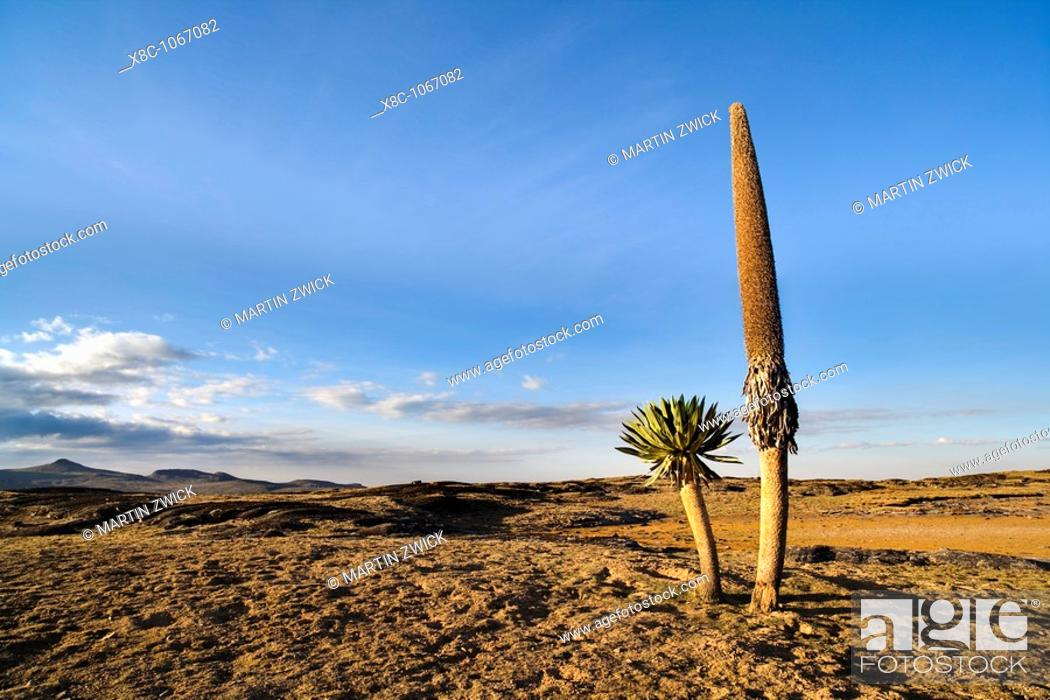 Stock Photo: Giant Loebelia Lobelia rhynchopetalum in the Bale Mountains of Ethiopia  Old plant with withered flower spike and new shoot next to it  Giant Lobelias are.