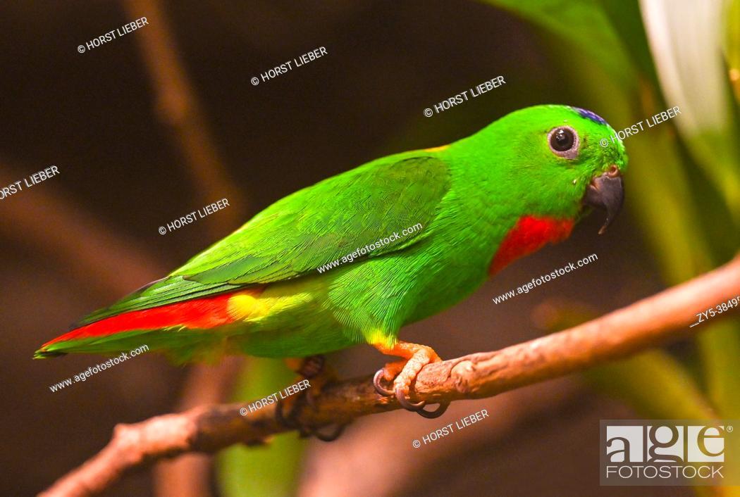 Imagen: Blue-Crowned Hanging Parrot on Branch.