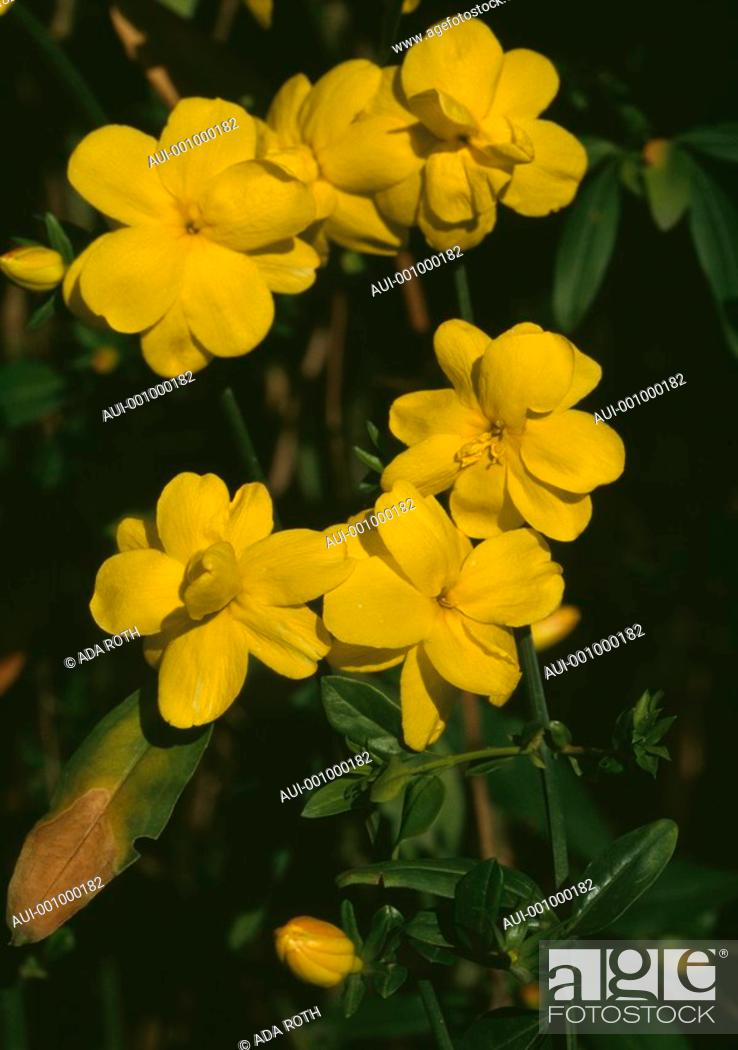 Stock Photo: Jasminum mesnyi - yellow - sunny blooms from late winter onwards.