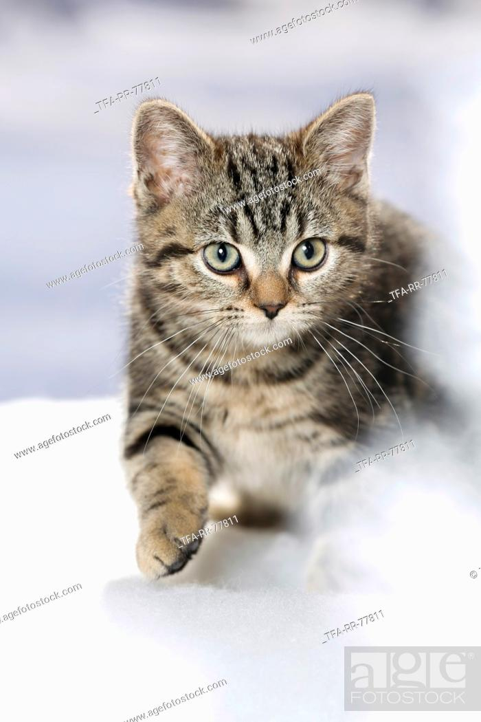 black-golden-tabby-classic British Shorthair, Stock Photo, Picture