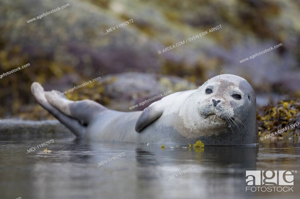 Stock Photo: Harbour Seal - resting seal at rocks - Svalbard, Norway.