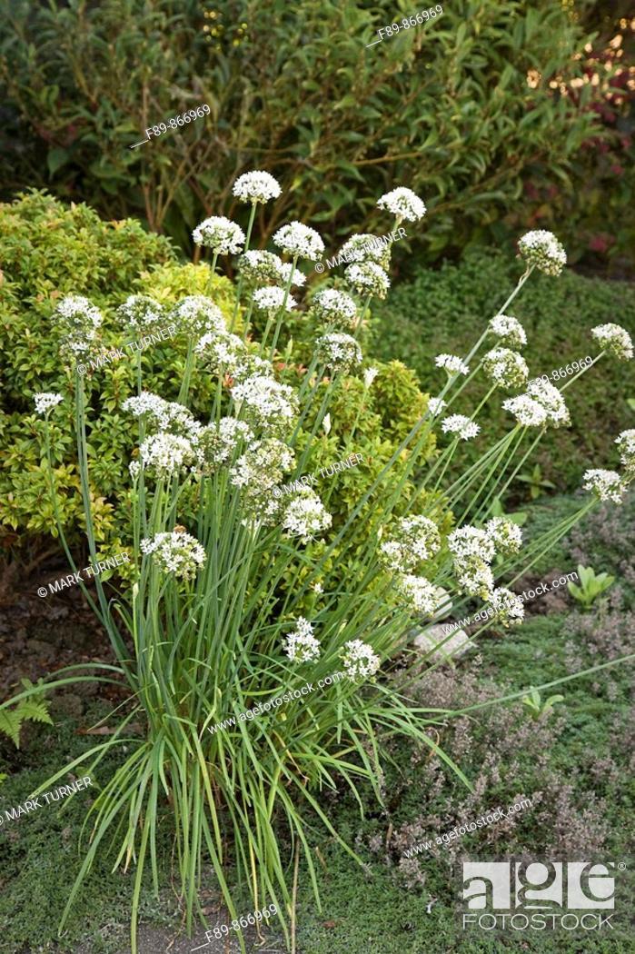 Stock Photo: Garlic Chives Allium tuberosum.