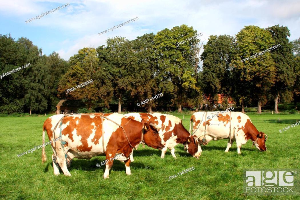 Stock Photo: red-and-white Cow Bos domesticus - Lemelerberg en Archemerberg, Lemele, Salland, Overijssel, The Netherlands, Holland, Europe.