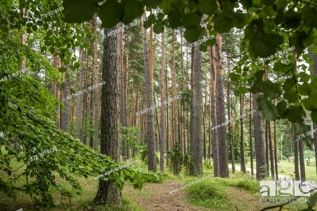 Stock Photo: Pine forest in the Latvian Ethnographic Open-Air Museum. Riga, Latvia, Baltic States, Europe.