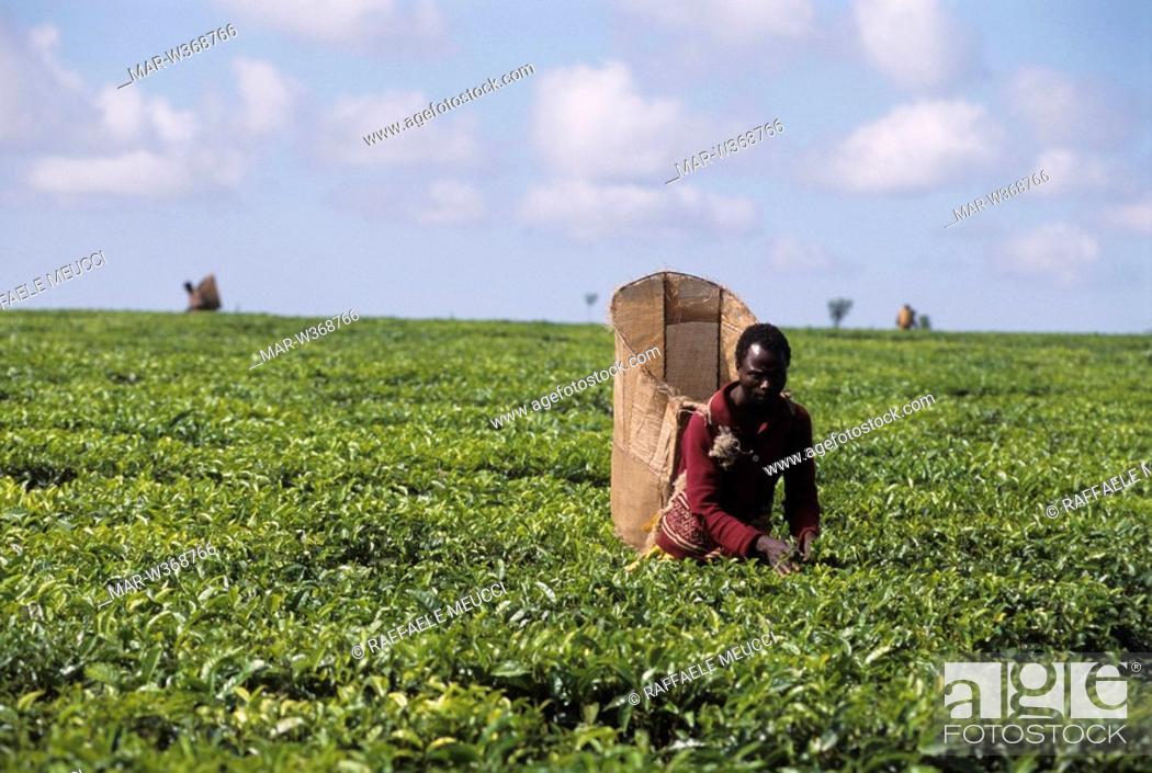 Stock Photo: tea plantation, thiolo, malawi, africa.