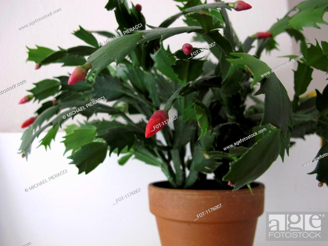 Stock Photo: Christmas cactus plant Schlumbergera.