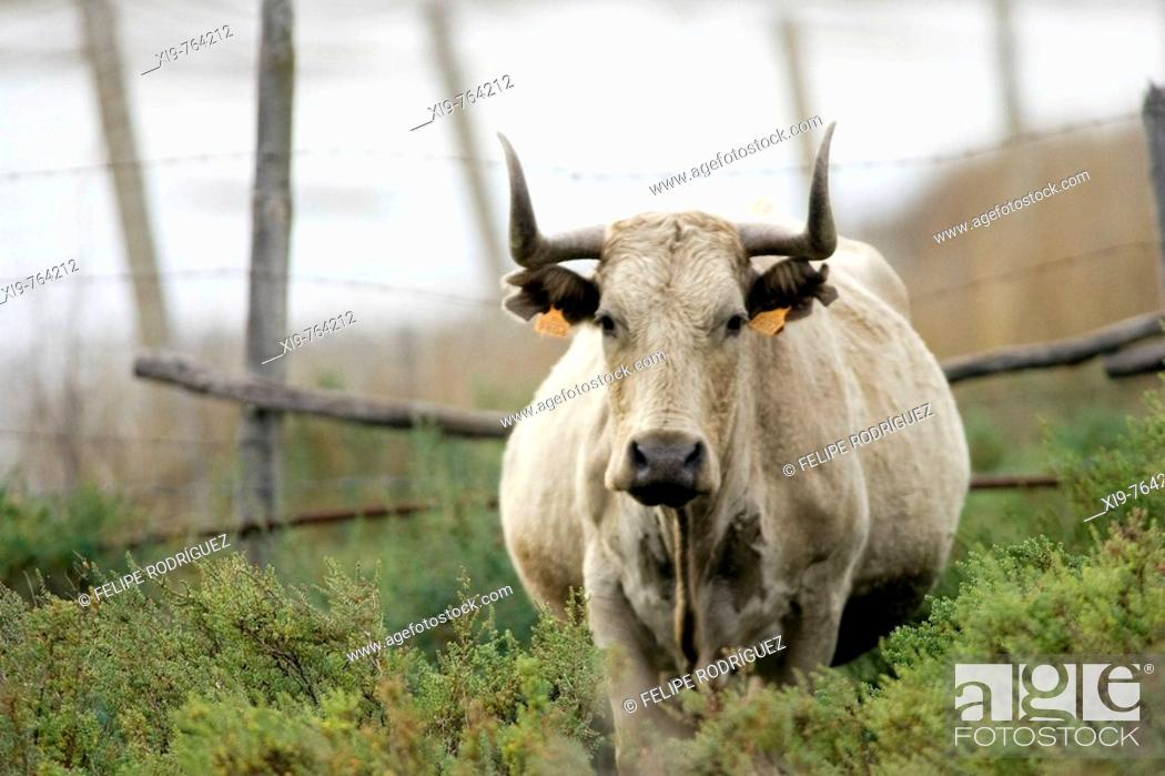Stock Photo: Cattle grazing in Doñana National Park. Aznalcazar, Sevilla province, Andalucia, Spain.