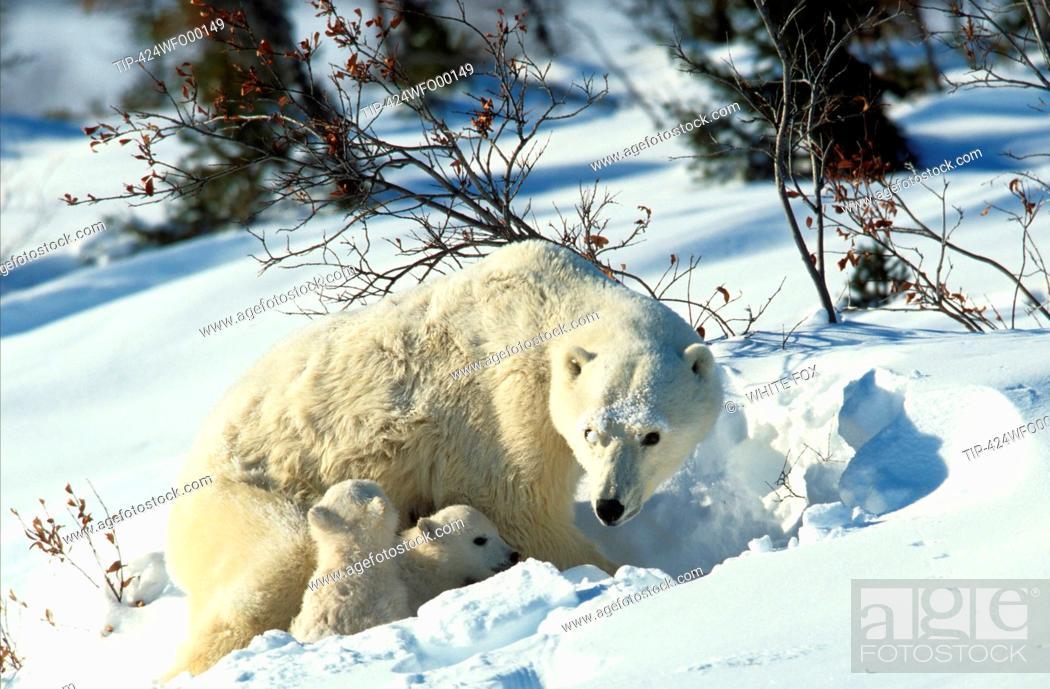 Stock Photo: Canada, Manitoba, Churchill, Polar BearUrsus maritimus, Thalassarctos maritimus.