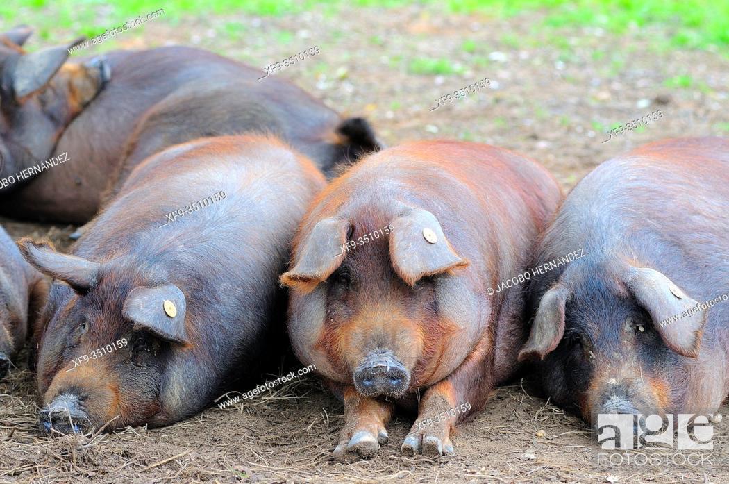Stock Photo: Iberian pigs. Badajoz province. Extremadura. Spain.