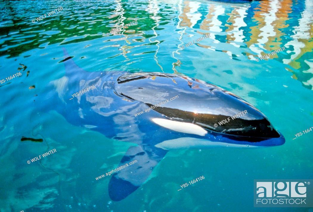 Stock Photo: Orca, Miami, Florida.