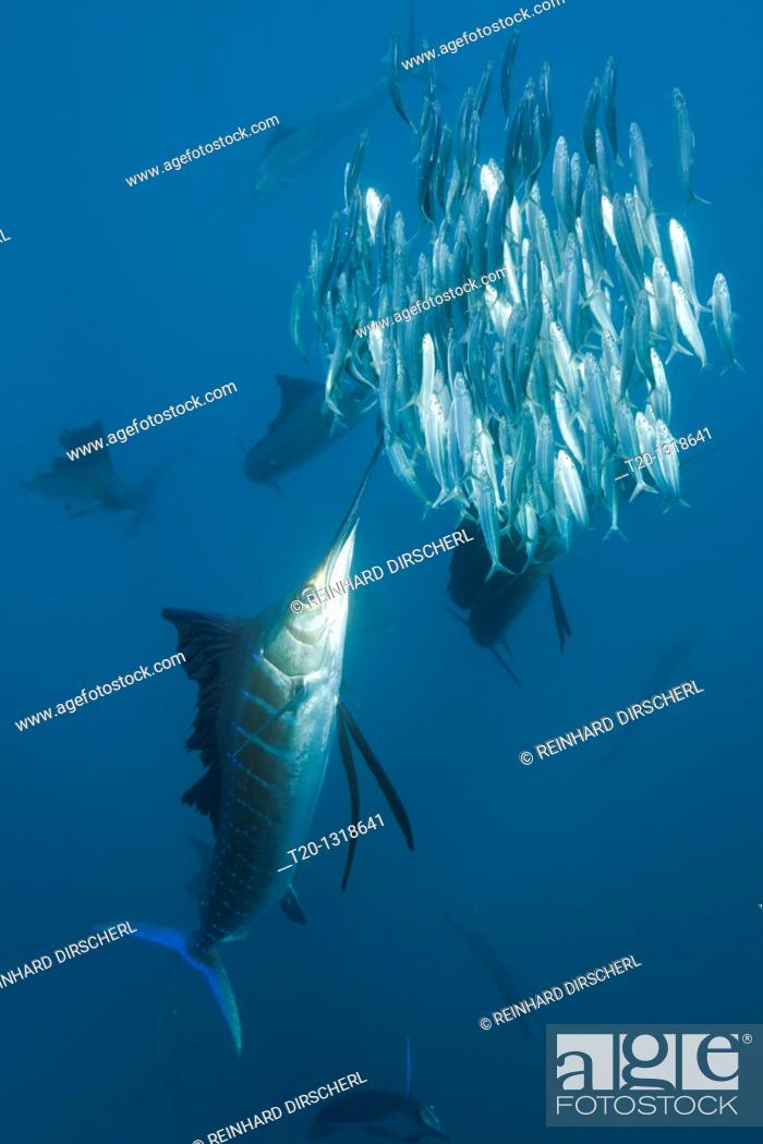 Stock Photo: Atlantic Sailfish hunting Sardines, Istiophorus albicans, Isla Mujeres, Yucatan Peninsula, Caribbean Sea, Mexico.