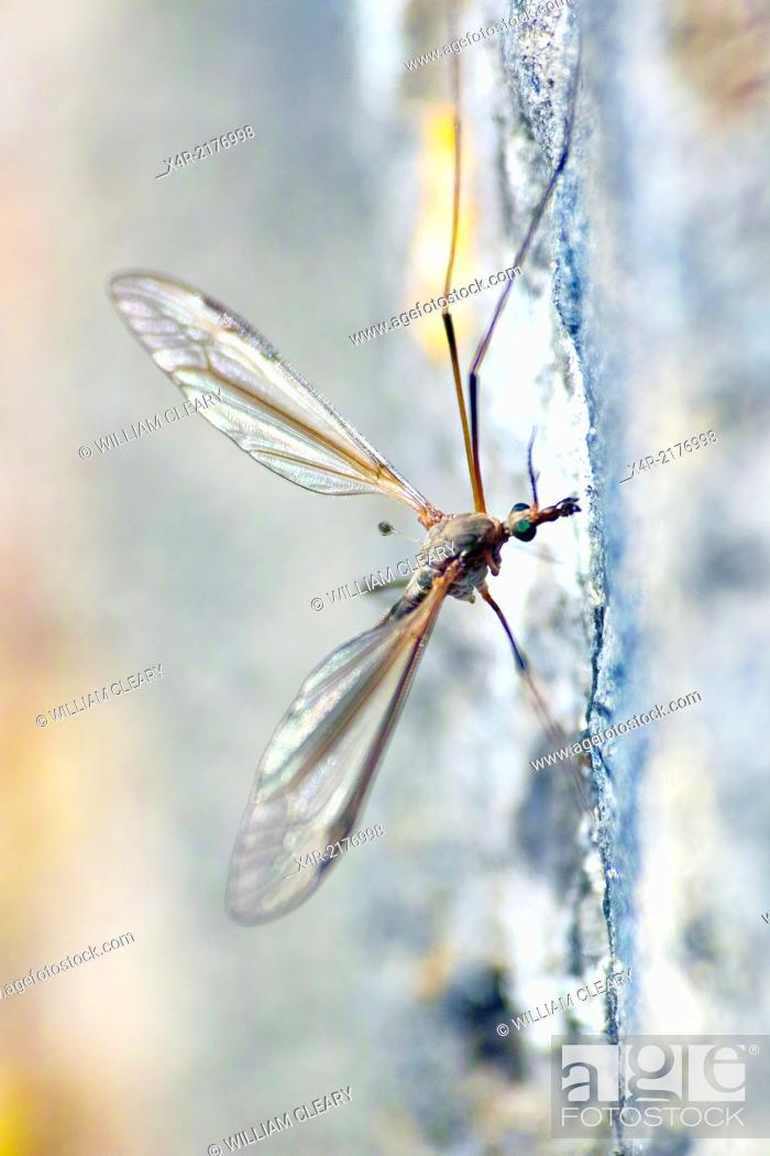 Stock Photo: Crane Fly a member of the Tipulidae family. Also commonly referred to as 'Daddy Long Legs.'.