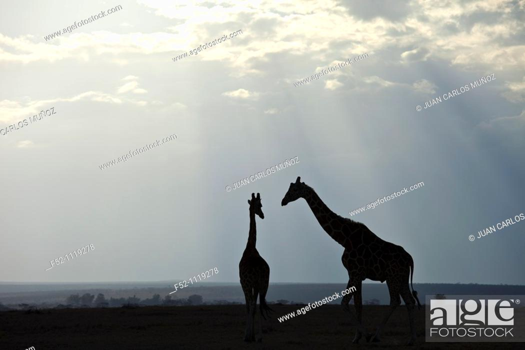 Stock Photo: Reticulated Giraffe (Giraffa camelopardalis reticulata), Kenya.