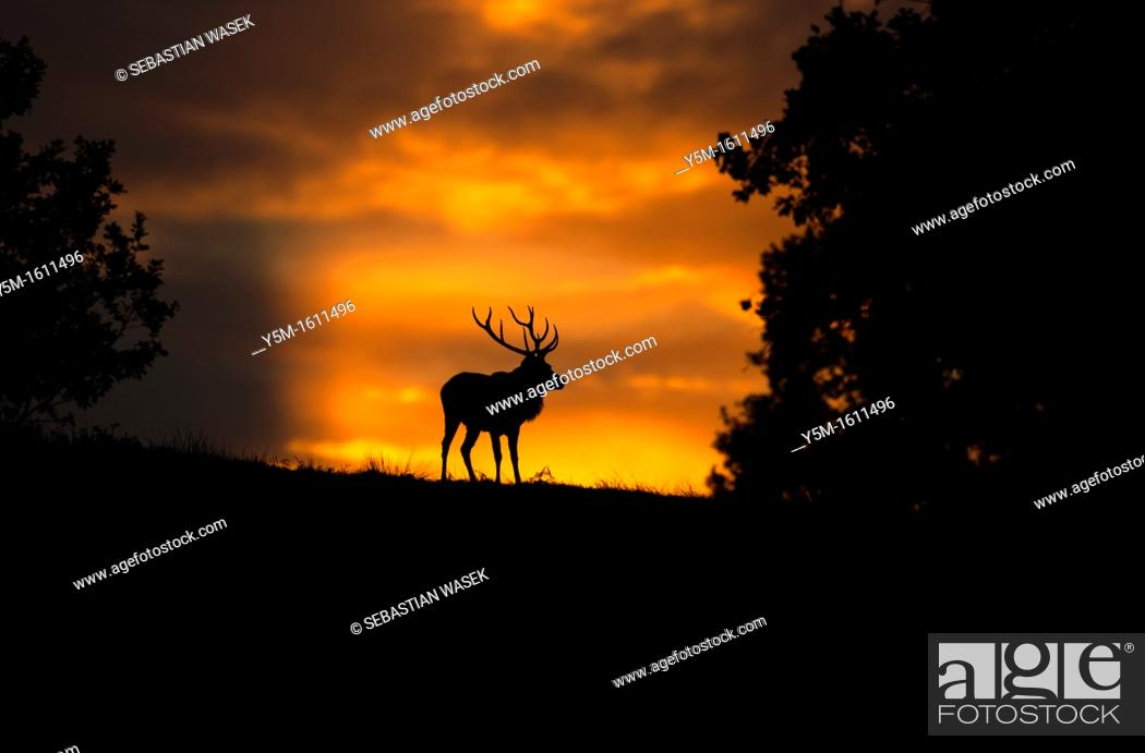 Stock Photo: Sunset with Red Deer, Cervus elaphus, Bradgate Park, Charnwood forest, Newtown Limford, Leicestershire, England, Europe.