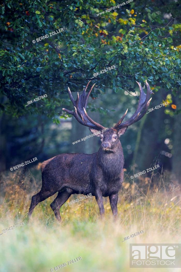 Imagen: Red deer (Cervus elaphus), Royal Stag standing near forest in fog, Zealand, Denmark.