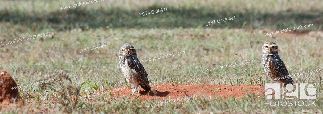 Stock Photo: Owl, Athene cunicularia, Chevêche, chouette give terriers, Park City D. Sarah Kubitschek, city, Distrito Federal, Brasília, Brazil.