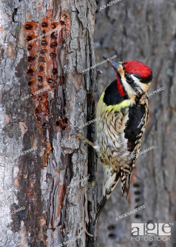 Stock Photo: A Yellow-breasted Sapsucker, Sphyrapicus varius, eating sap from a tree in Saskatoon, Saskatchewan.