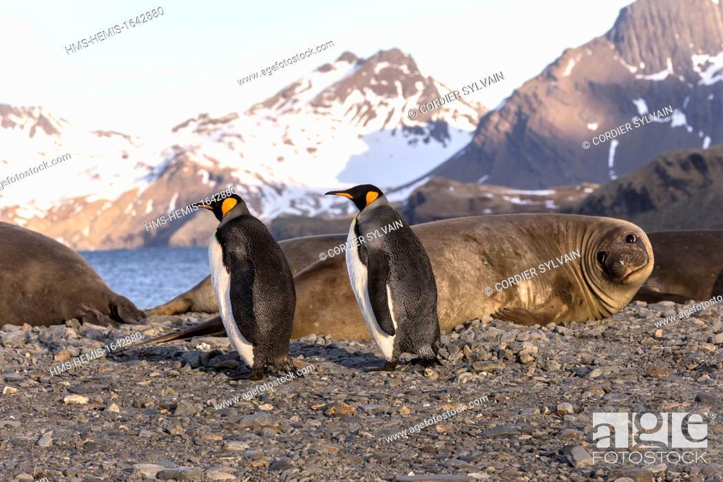 Stock Photo: Antarctic, South Georgia Island, Stromness Harbour ,King Penguin (Aptenodytes patagonicus), with Elephant Seal.