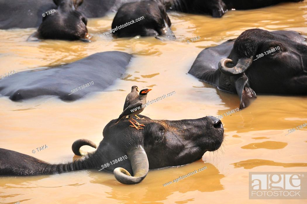 Stock Photo: Water Baffalow in the Ganges river,.