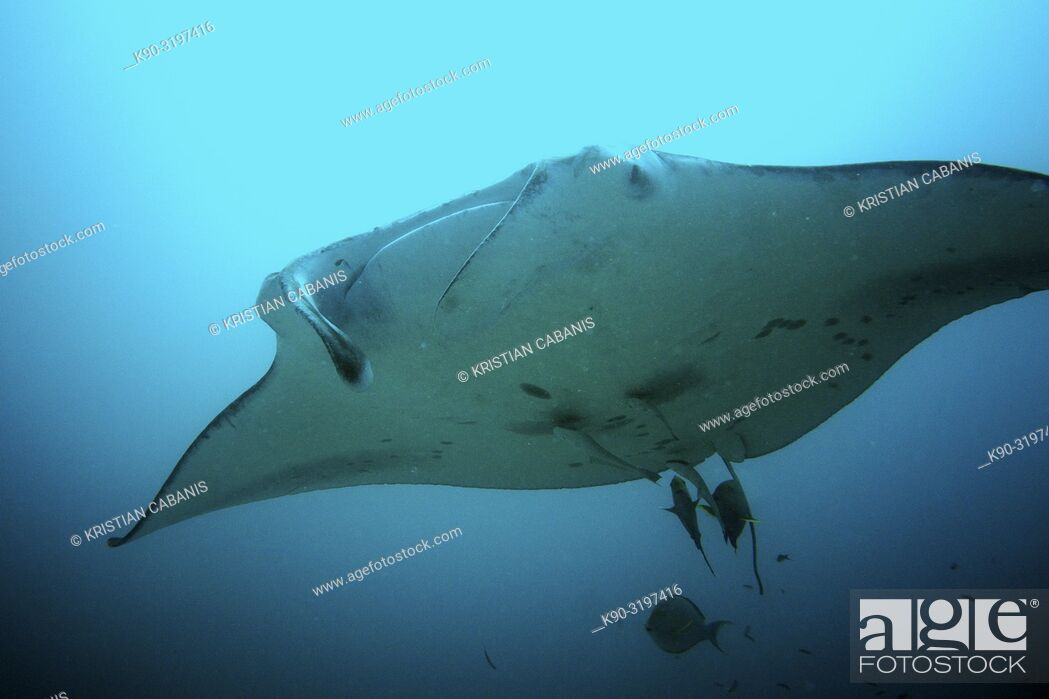 Stock Photo: Oceanic Manta Ray (Manta briostris) with cleaner fishes, Indian Ocean, Maledives, South Asia.
