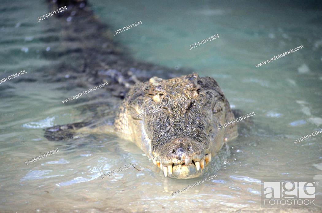 Stock Photo: Australia, Kakadu national park, saltwater crocodile.