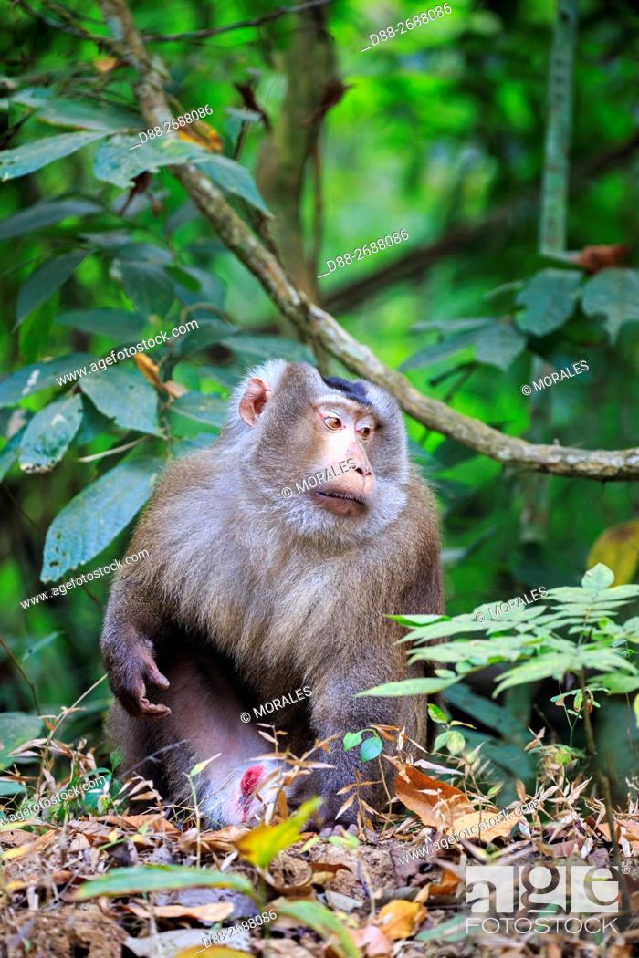 Stock Photo: South east Asia, India, Tripura state, Northern pig-tailed macaque (Macaca leonina).