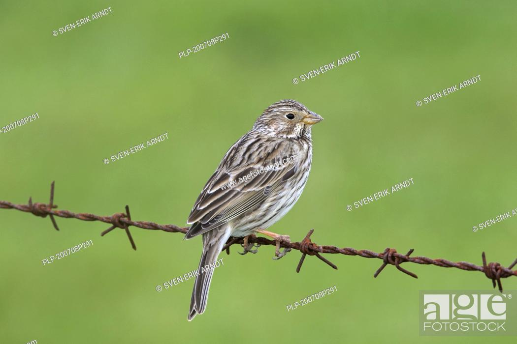 Stock Photo: Corn bunting (Emberiza calandra / Miliaria calandra) perched on barbwire / barbed wire along meadow / field in spring.