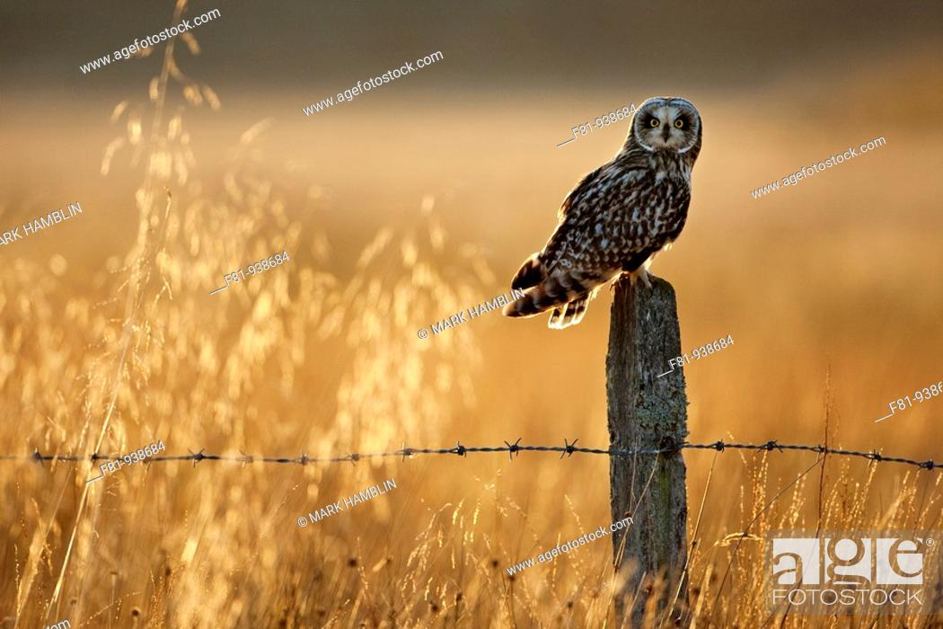 Stock Photo: Short-eared owl Asio flammeus perched on old post in late evening light  Scotland  October 2009.