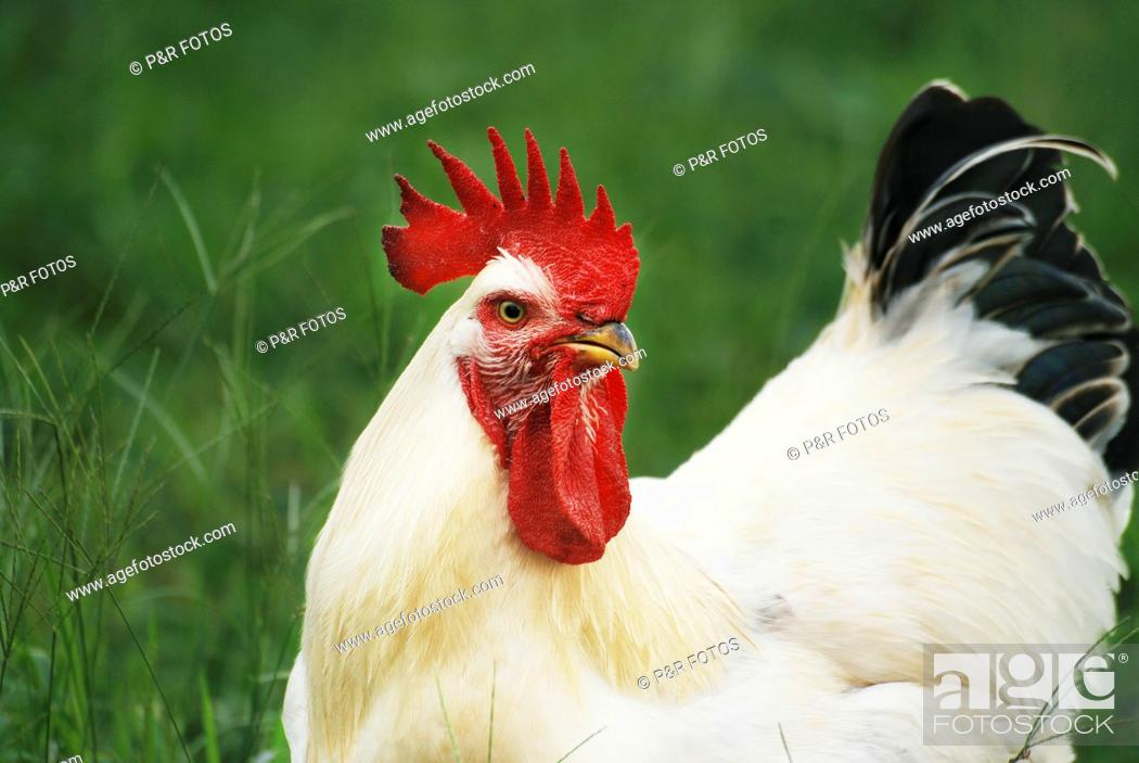 Stock Photo: Rooster of dual-purpose breed Sussex  Gallus domesticus, Galiformes, Aves  Single cockcomb.