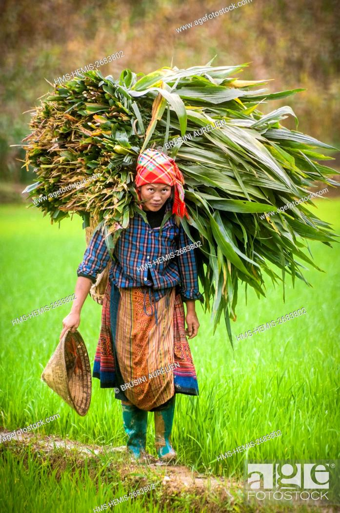 Stock Photo: Vietnam, High Tonkin, province of Lao Cai, Bac Ha village, red H'mong peasant bringing on her back a significant leaf harvesting, amongst the rice paddies.