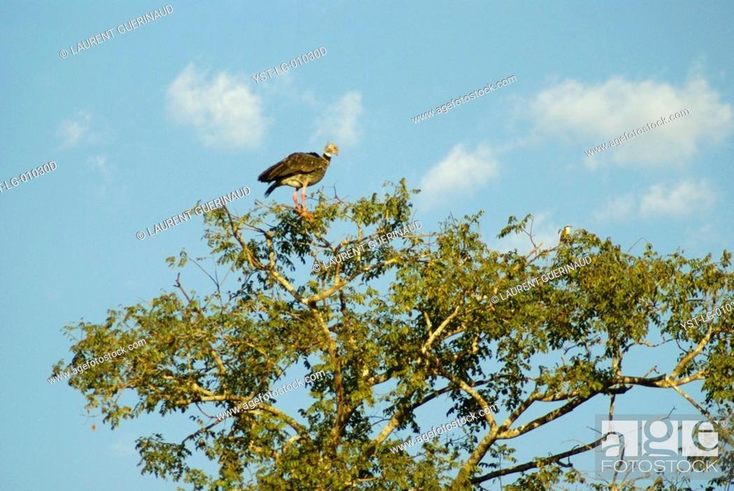 Stock Photo: Tachã, Southern Screamer, Chauna torquata, Pantanal, Mato Grosso do Sul, Brazil.