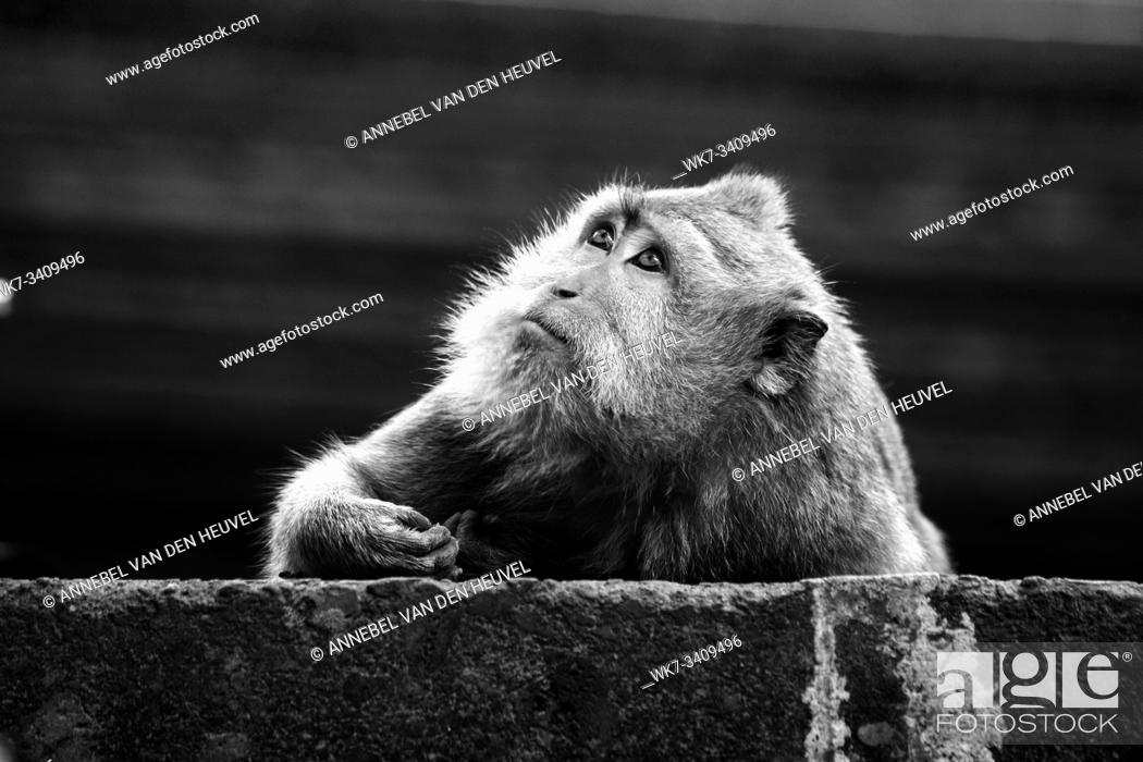 Stock Photo: Portrait of monkey in the wild in Bali jungle, black and white portrait.